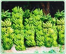 20-Tissue-Culture-Raised-Plants-of-Grand-Naine-Banana-Fruit-c069a809